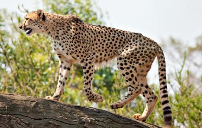 Báo Cheetah