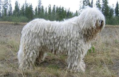 Chó Komondor