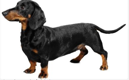 Chó lạp xưởng/xúc xích