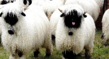 Cừu mũi đen Valais