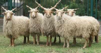 Cừu Racka
