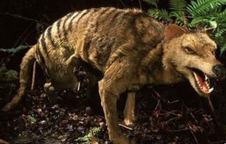 Hổ Tasmanian