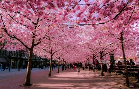Lễ hội ngắm hoa anh đào, Nhật Bản