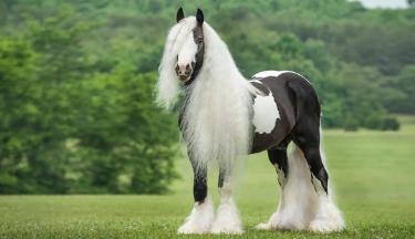 Ngựa Gypsy