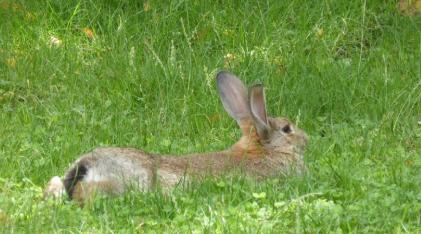 Thỏ nâu