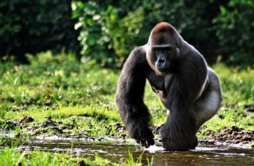 Khỉ đột